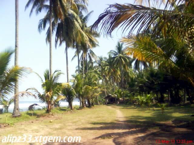 Pidakan kelapa tepi - pantai pacitan