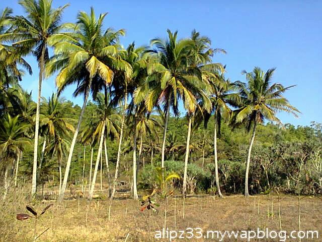 pepohonan kelapa - Pantai ngoyan worawari kebonagung pacitan jawa timur